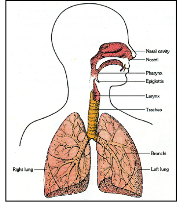 Fantastic facts human body lungs the lungs ccuart Image collections