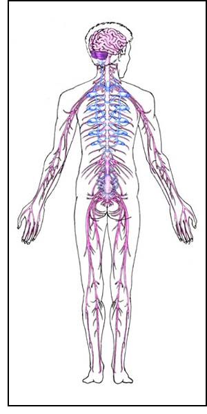 Fantastic facts human body nervous system the brain and the nervous system ccuart Images